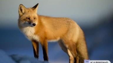 Foxes collection of photos
