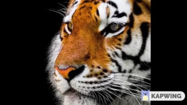 Tigers  collection of photos