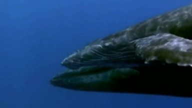Humpback Whale   The Giant Of The Oceans