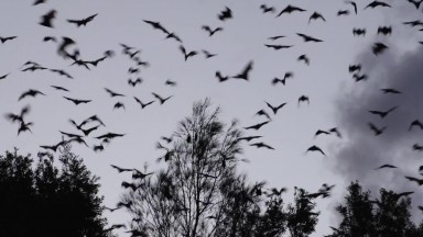 Australian bats & flying foxes