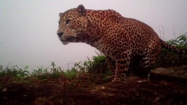 Amidst the tea where the leopards still roam
