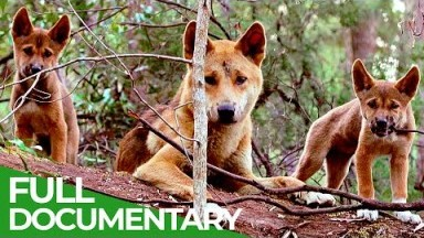 Wildlife Instincts: A Family Bond - Dingoes | Free Documentary Nature