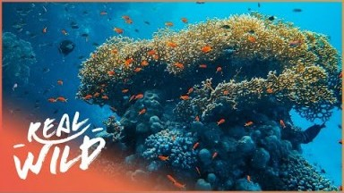 Red Sea: The Mystery Of The Ocean (Wildlife Documentary) | Real Wild