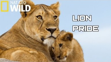 Lion Pride 2020 -  Working Together To Survive | National Geographic Documentary HD (Wild Life)