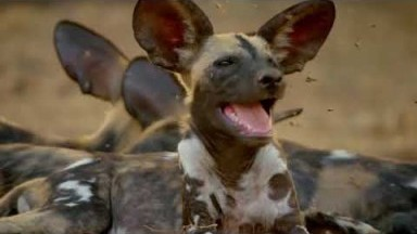 Wild Dogs - Hot Springs Pack | National Geographic Wild Documentary [Full HD 1080p]
