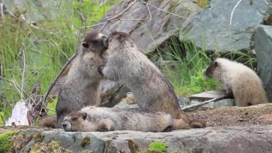 Marmot Family Interacting