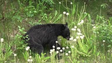 Young Black Bear eating Dandelions
