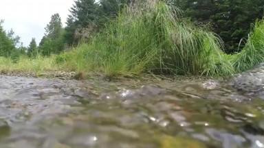 Chum salmon running upstream