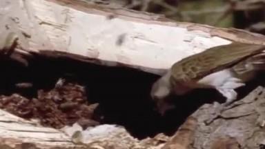 Badger Quest [Honey Badger Documentary]