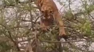 Tiger fell from a tall tree when being brutally cornered by Monkeys | Wild Animal Attacks