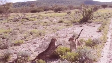 Real Leopard Fight   Amazing Wild Animal Attacks