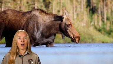 Moose Attacks Are Increasing